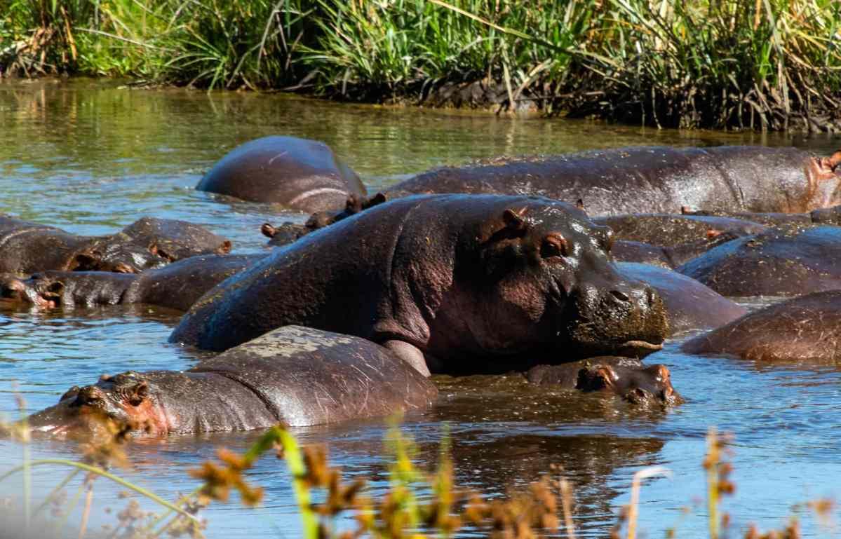Mating hippos