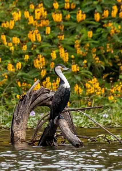 white breasted cormorant