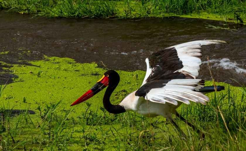 saddle billed stork