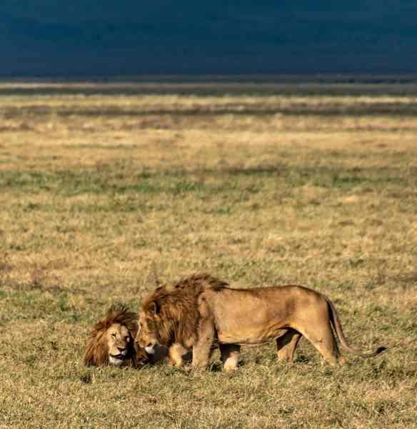 male lions in Ngorongoro