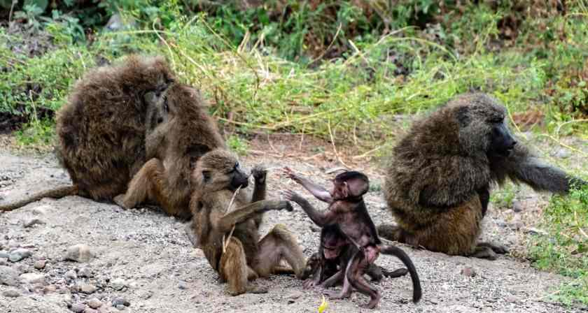baboons at Lake Manyara