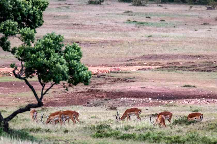 Impala grazing on the grassy plains