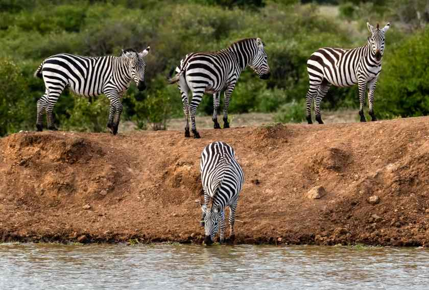 male zebra gets a drink at the water hole while his harem looks on