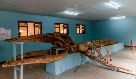 Humpback whale skeleton at the Gedi Ruins museum