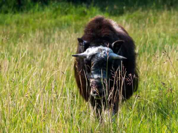 one of the musk ox herd at the UAF Large Animal Research Station