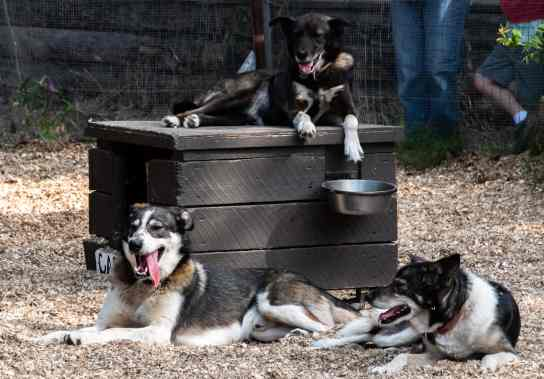 Learning about sled dog training-they do not like the summer heat