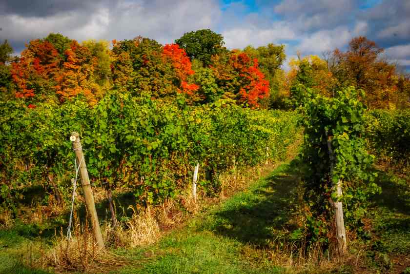 Grapevines in the Finger Lakes in the fall