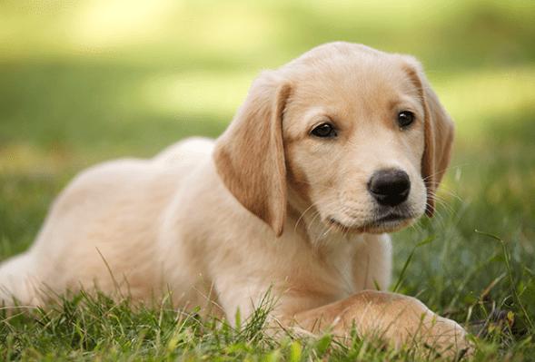 lab dog at quimbys
