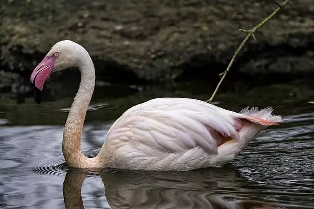 El tono rojo de este flamingo se debe a la astaxantina
