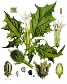 Ficha botánica de la Datura stramonium o estramonio