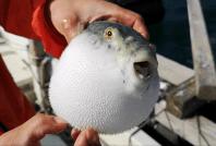 Pez fugu o globo, fuente de tetrodotoxina, clave para el fenómeno zombie