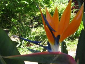 chilean bird of paradise flower