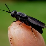 Larvas de mosca soldado no minhocário 2.0- Se você não pode vencer junte-se a elas!
