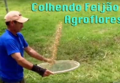 Colheita de Feijão Orgânico e Agroflorestal
