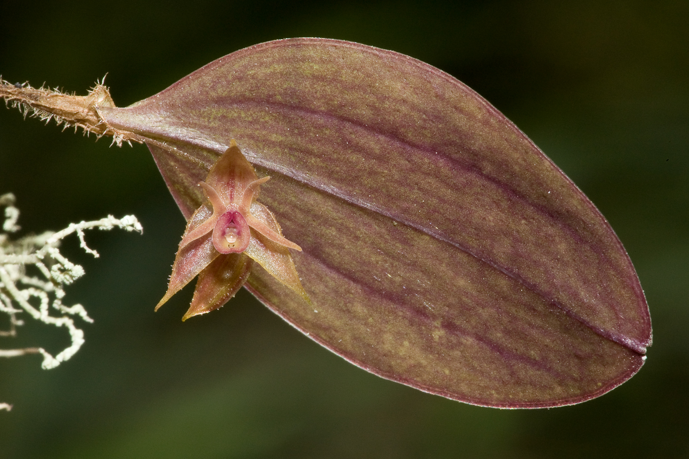 Lepanthes sp. Orchid near the Interoceanic highway in Peru