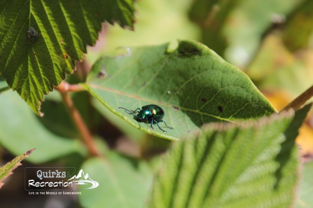 Metallic green bug on a leaf