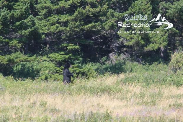 Black bear standing in a meadow