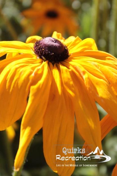 closeup of black-eyed Susan flower