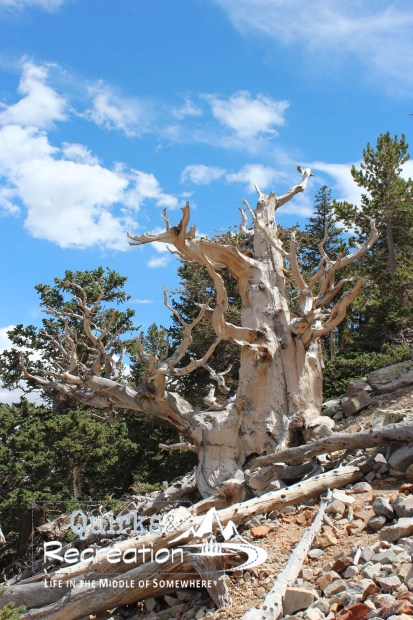 Bristlecone pine tree in Great Basin National Park