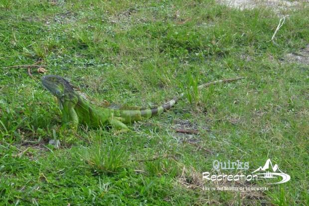 igunana in Key West, Florida