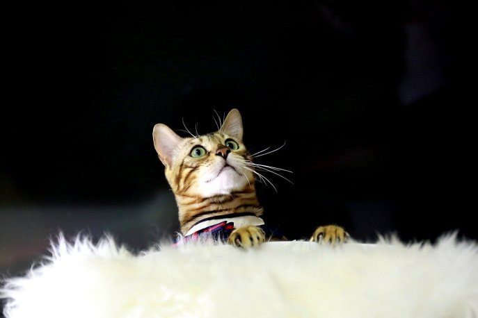 quirky cat products bengal cat