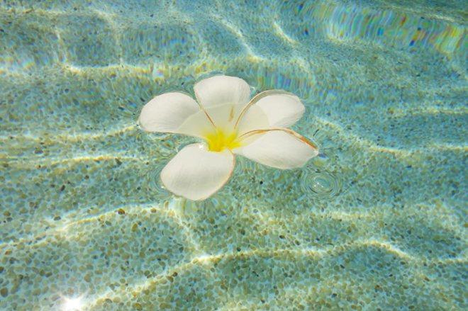 floating-frangipani
