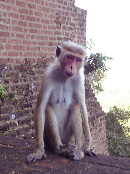 Beware of the monkeys at Sigiriya, Sri Lanka!
