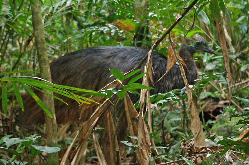 Cassowary in the Daintree Rainforest Australia