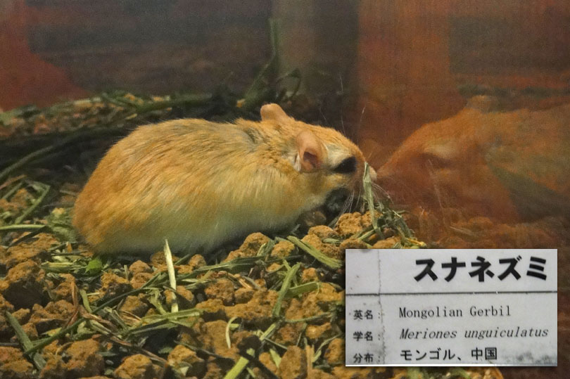 Mongolian Gerbil at Ueno Zoo in Japan