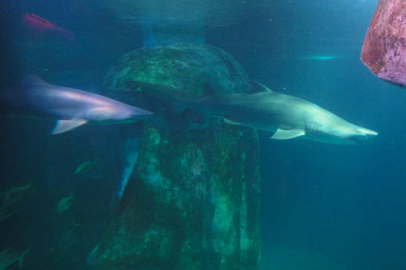 Shark tank at Sea Life London