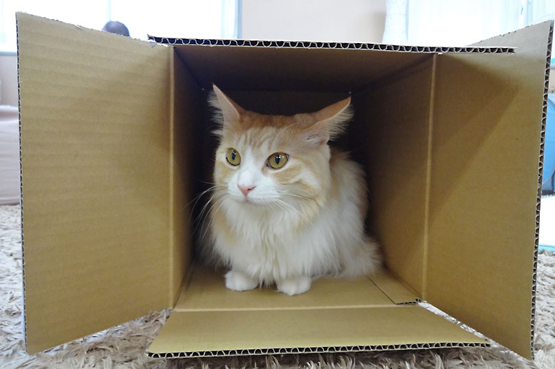 Cat hiding in a box at a Cat Cafe in Tokyo, Japan
