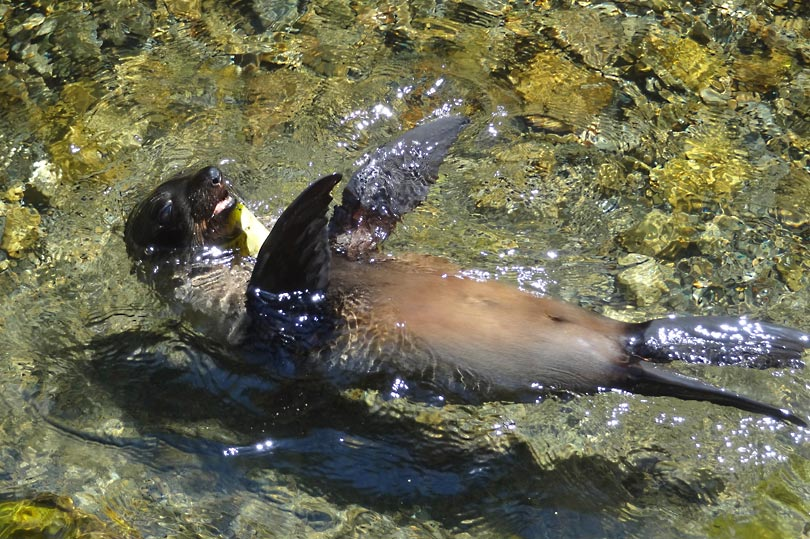 A seal swimming in Ohau stream, Kaikoura