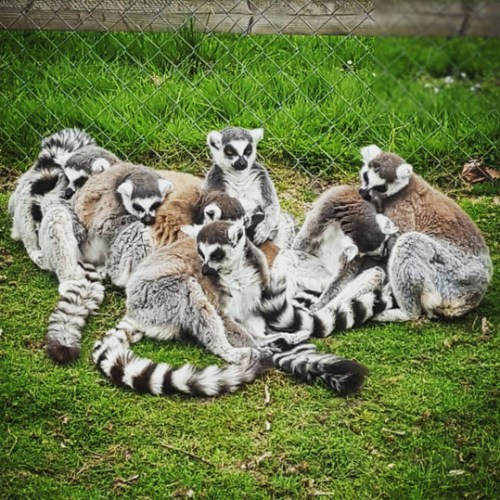A group of lemurs at Wingham Wildlife Park in Kent