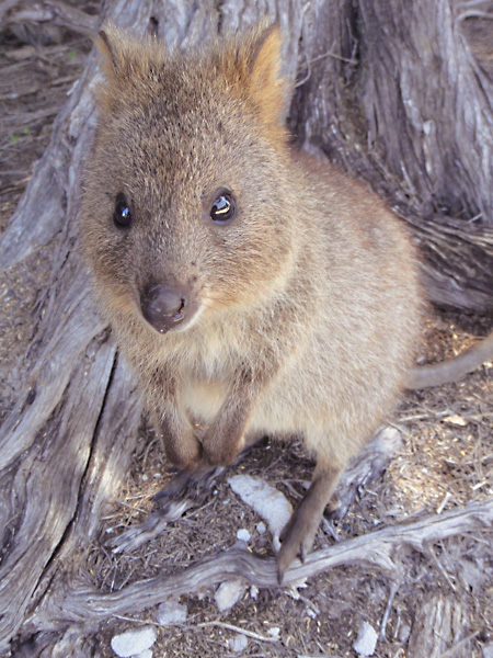 Adorable quokka - a native to Rottnest Island in Western Australia