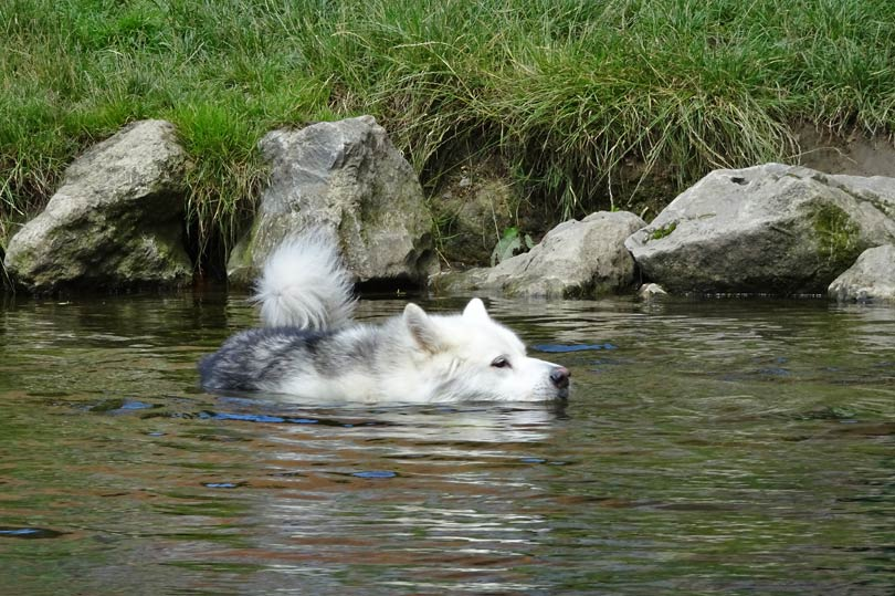 Husky dog having a swim