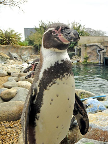 penguin at colchester zoo