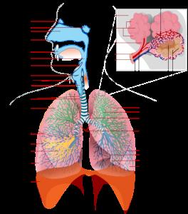Grace à la respiration abdominale, le volume du poumon augmente