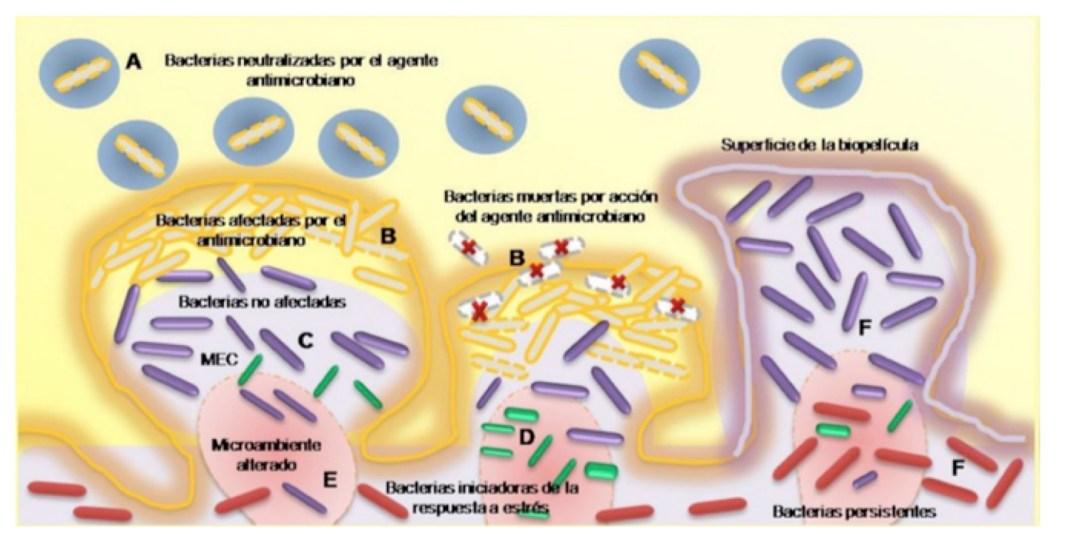 Resistencia a agentes antimicrobianos en una biopelícula. (A) Las bacterias planctónicas son neutralizadas por los agentes antimicrobianos. (B) Las bacterias de la biopelícula más cercanas a la superficie reciben el daño del agente antimicrobiano. (C) La matriz extracelular (MEC) retarda la velocidad de penetración del agente antimicrobiano a la biopelícula. (D) Las bacterias generan una respuesta ante el estrés, haciendo que la actividad de las células cambien como respuesta a estímulos del ambiente y (E) se genera un microambiente alterado. (F) Bacterias persistentes se generan, son capaces de resistir a los agentes antimicrobianos permitiendo nuevamente la colonización. Tomada de Loera