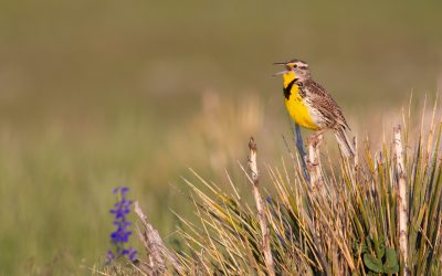 Episode 74 – For the birds: Audubon's conservation ranching work