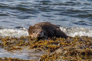 Otter on Arran