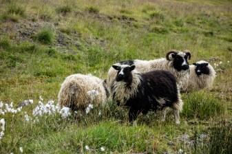 Icelandic Sheep Fear No Cars
