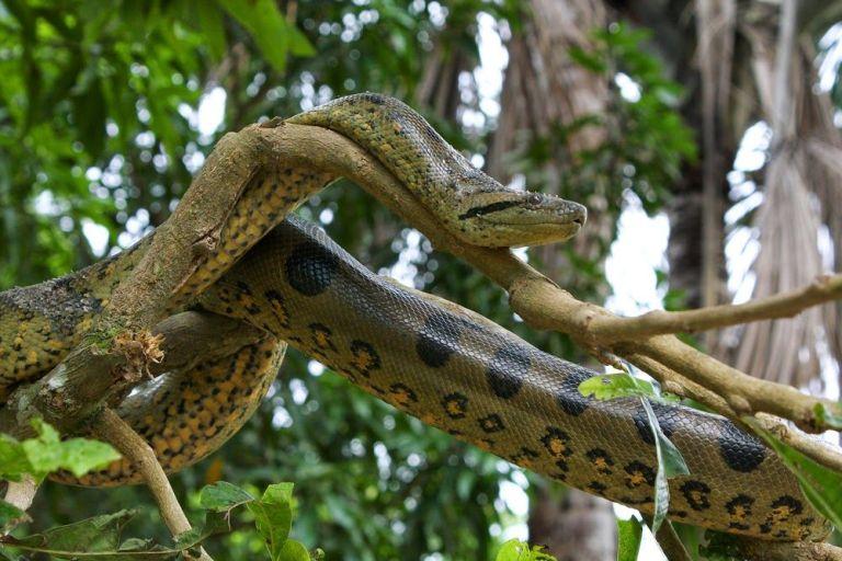 cobra anaconda em cima de um galho na árvore