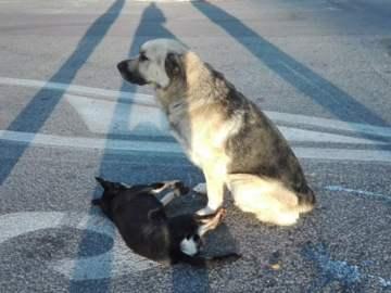 cachorro branco cuidando do seu amigo cachorro que foi atropelado na estrada