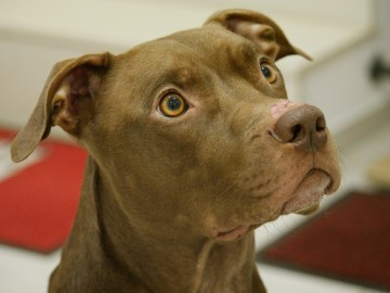 cachorro bravo encarando seu dono - pitbull