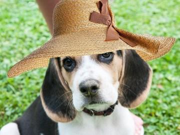 cadela da raça beagle de chapéu