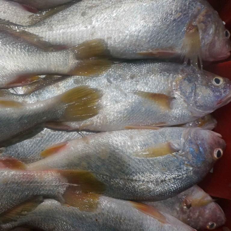 Cá ngao tươi xếp lớp trong thùng đá