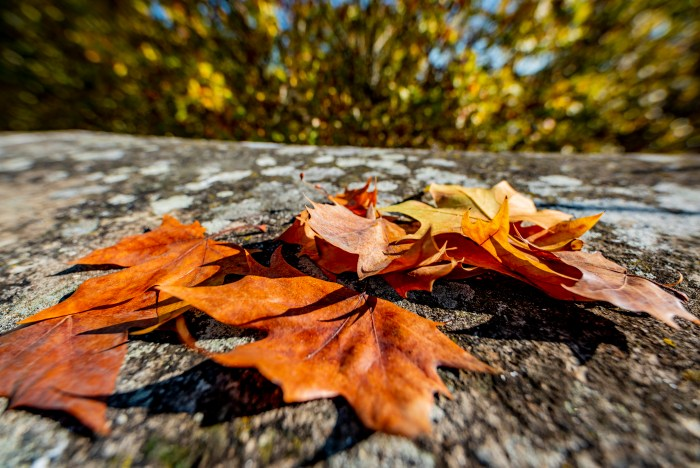 Autumn Plane Trees Leaves outside the terrace of QuodLibet bed and breakfast Rome