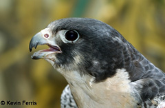 Peregrine Falcon, photo by Kevin Ferris