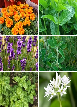 Mosquito Shield Plant-If You Want To Get Relief Of Mosquitoes, So Plant These 10 Plants At Home_Image Source Google