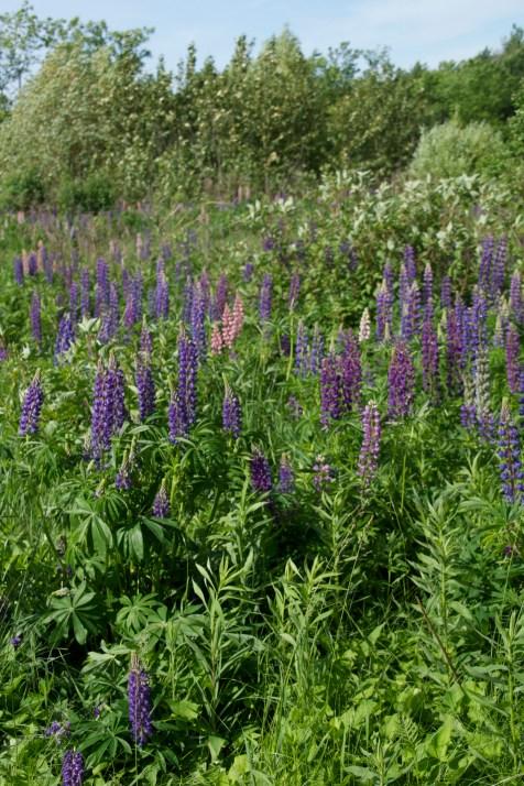 Lupine field, North Hibbing, II
